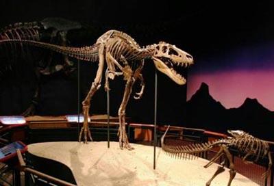 Jane a Nanotyrannus or Juvenile Tyrannosaurus Rex on display at the Burpee Museum, Rockford IL