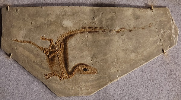 Sinosauropteryx fossil Note dark region on along the back - claimed by evolutionists to be feathers.