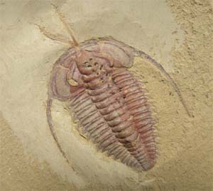 Trilobite fossil from Chengjiang, China