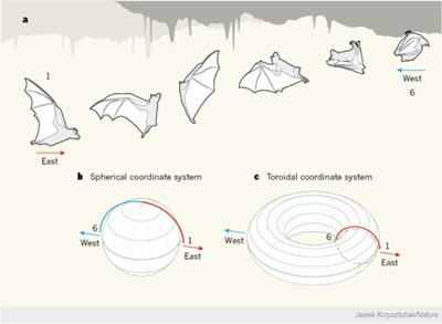 Bat flight -a sophisticated flip to landing made possible by a neronal compass and sophisticated geometry